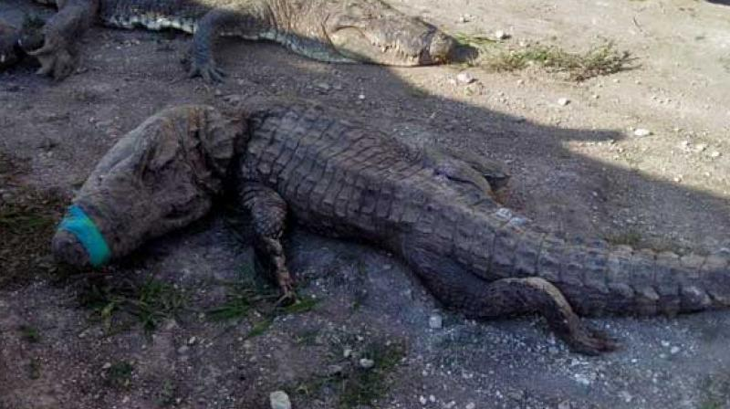 The crocodiles were being transported to the