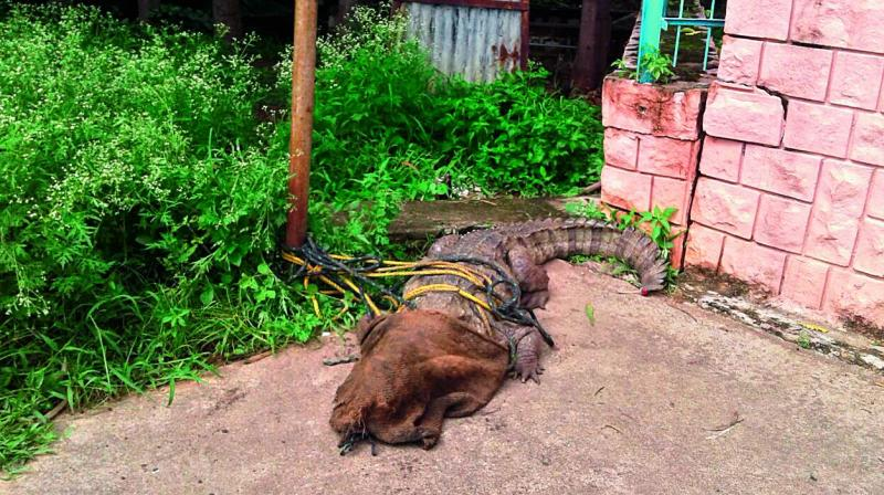 Officials restrain the crocodile that was rescued at the Water Board office near the Manjeera wildlife sanctuary. The reptile was later released into the river.