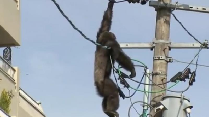 Chimpanzee pulled the arrow out, but dangling from an electric line, appeared to lose its grip as the sedative took effect, and suddenly fell head down into the blanket.