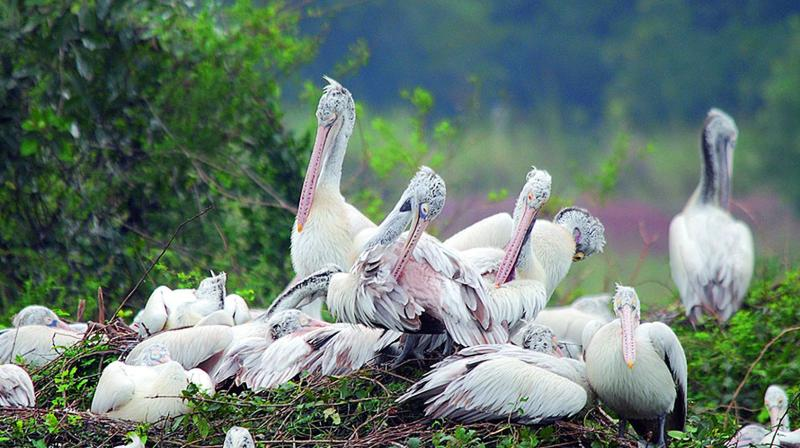 Nelapattu Bird Sanctuary, Andhra Pradesh