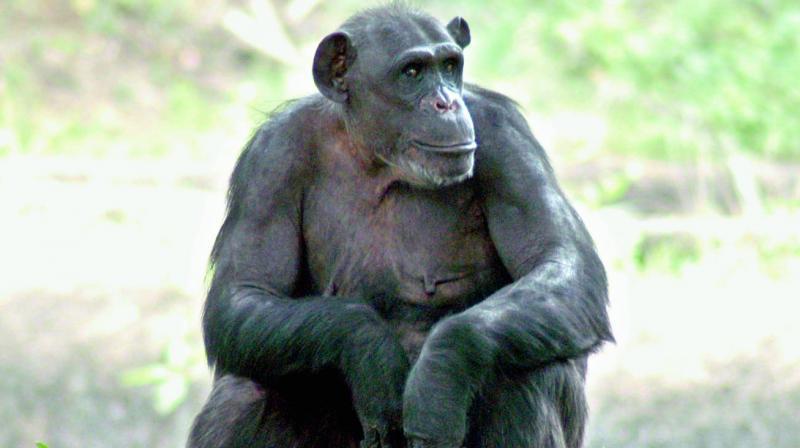 Sahara owner Subrata Roy's pet chimp enjoys a royal life at