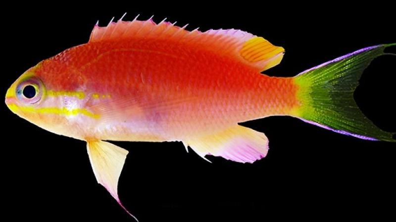 Video this new fish discovered near hawaii will be named after this is the second fish to be named after obama photo youtubenational sciox Images