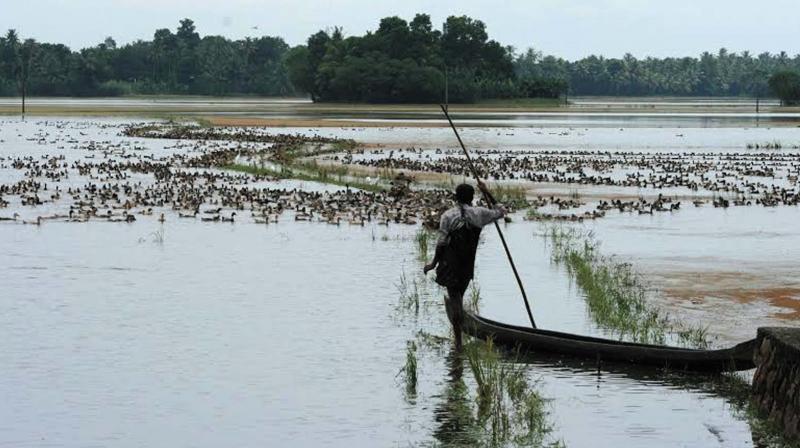 A farmer looks at his flock of duck. A scene from Kannadi, Kuttanad. (Photo: DC)