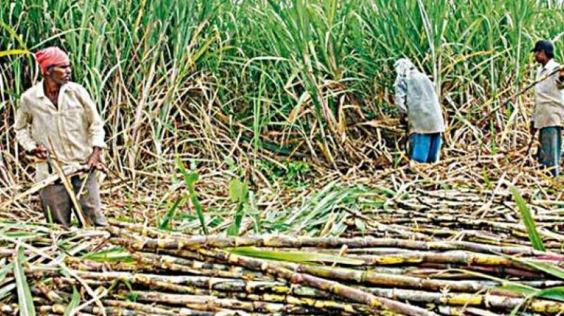 According to ISMA data, sugar production in Maharasthra - the biggest producing state - is estimated to decline to around 6.15 MT in 2016-17 from 8.40 MT in the current year.