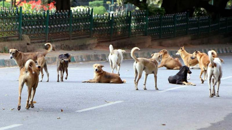 There are 1,800 stray dogs in its limit and the anti-birth control surgeries would be soon done after catching strays.