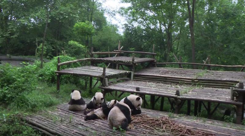 Giant Pandas feast on shoots. (Photo: AFP)